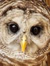 Owl close up
