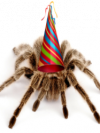 tarantula wearing a party hat