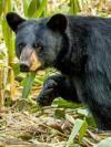 Black bear in corn field