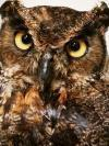 Great hormed Owl